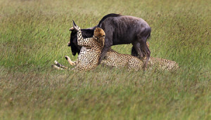 Wildebeests serve as prey for large carnivores, such as lions and leopards. ©Eric Rock