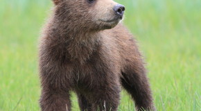 Wildlife Photo of the Week: Curious Cub in Katmai