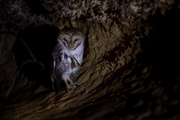 In some places in the Galapagos National Park in Ecuador, flash photography is not allowed for shooting any wild animals. This photo of a barn owl in a cave is lit solely by a headlamp. ©Jeff A. Goldberg