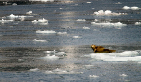 Can we mange to avoid harm to seals while controlling CO2 emissions? ©Justin R. Gibson