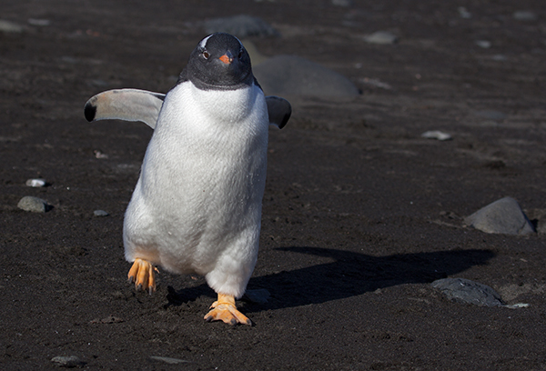 I probably first heard about Antarctica in a children's book on penguins. ©Candice Gaukel Andrews