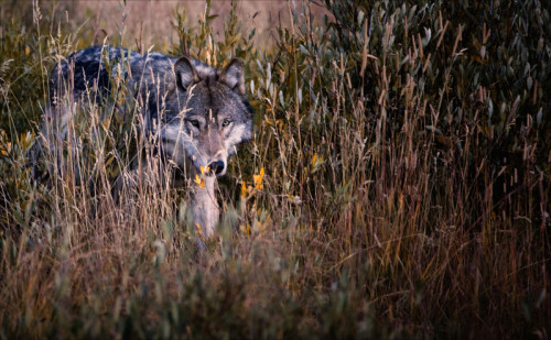 Cautious yet confident, this Grey Wolf checks out the camera