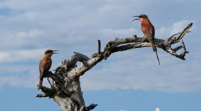 Wildlife Photo of the Week: Chatting Bee Eaters