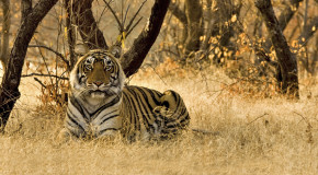 Exotic India: In Search of Wild Tigers – Adventure Webinar