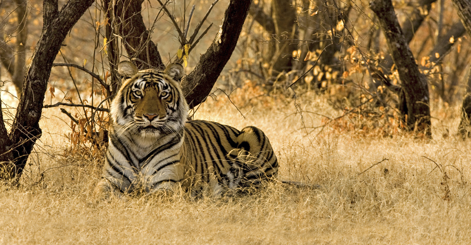 A wild tiger sitting in the dry deciduous forest of Ranthambore tiger reserve at sunrise