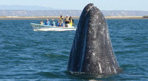 Is the Pacific Gray Whale the Ocean's Friendliest Gentle Giant?