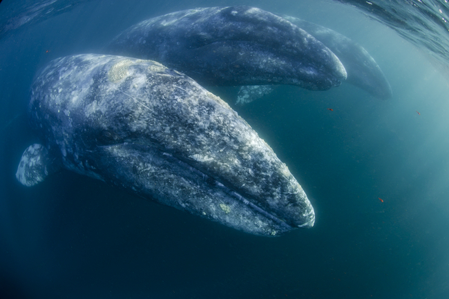 Image Credit: visionsofthewild.com, http://www.visionsofthewild.com/blog/tag/grey-whale/