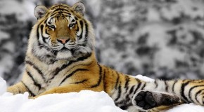 See—and Save—Bengal Tigers in India