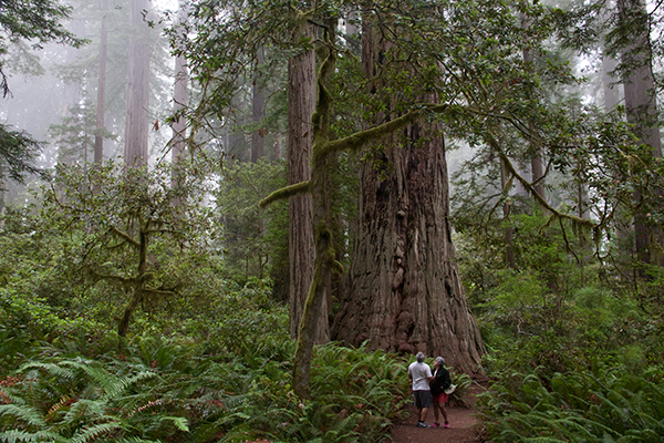 In 1980, Redwood National Park, located along the Pacific Coast in northern California, was designated a World Heritage site. ©Candice Gaukel Andrews