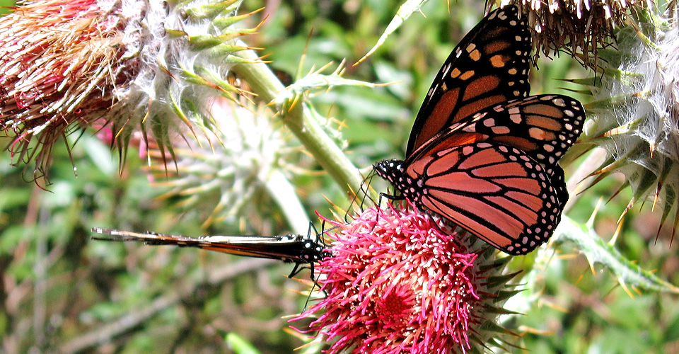 Journey to Mexico's butterfly sanctuaries and stand among hundreds of millions of monarchs as they complete their remarkable migration. (c) Astrid Frisch