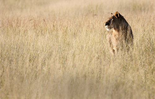 The death of Cecil has caused Zimbabwe to suspend the hunting of wildlife. ©Eric Rock