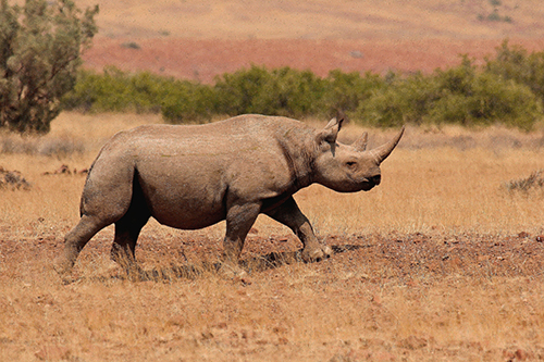 Since 2008, there has been a huge surge in rhino poaching. In 2014 in South Africa alone, poachers killed a record-breaking 1,215 rhinos. ©Olwen Evans