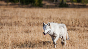 Wolves Return to California, but for How Long?