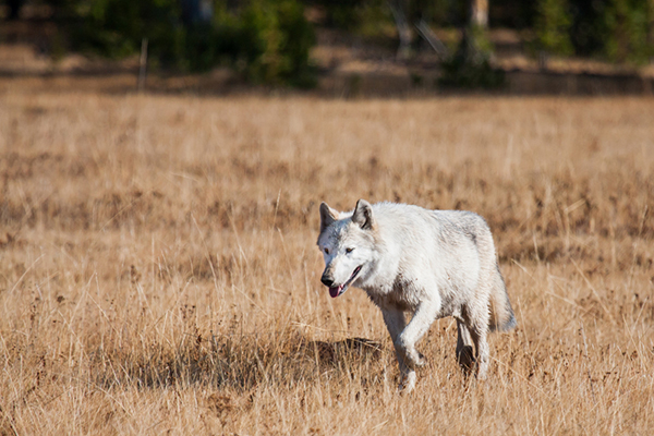 The International Wolf Center estimates that there are about 5,500 gray wolves in the 48 contiguous states. Alaska has another 8,000 to 11,000 wolves. ©Sean Beckett