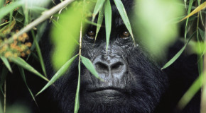 See—and Save—Endangered Gorillas in the Mist