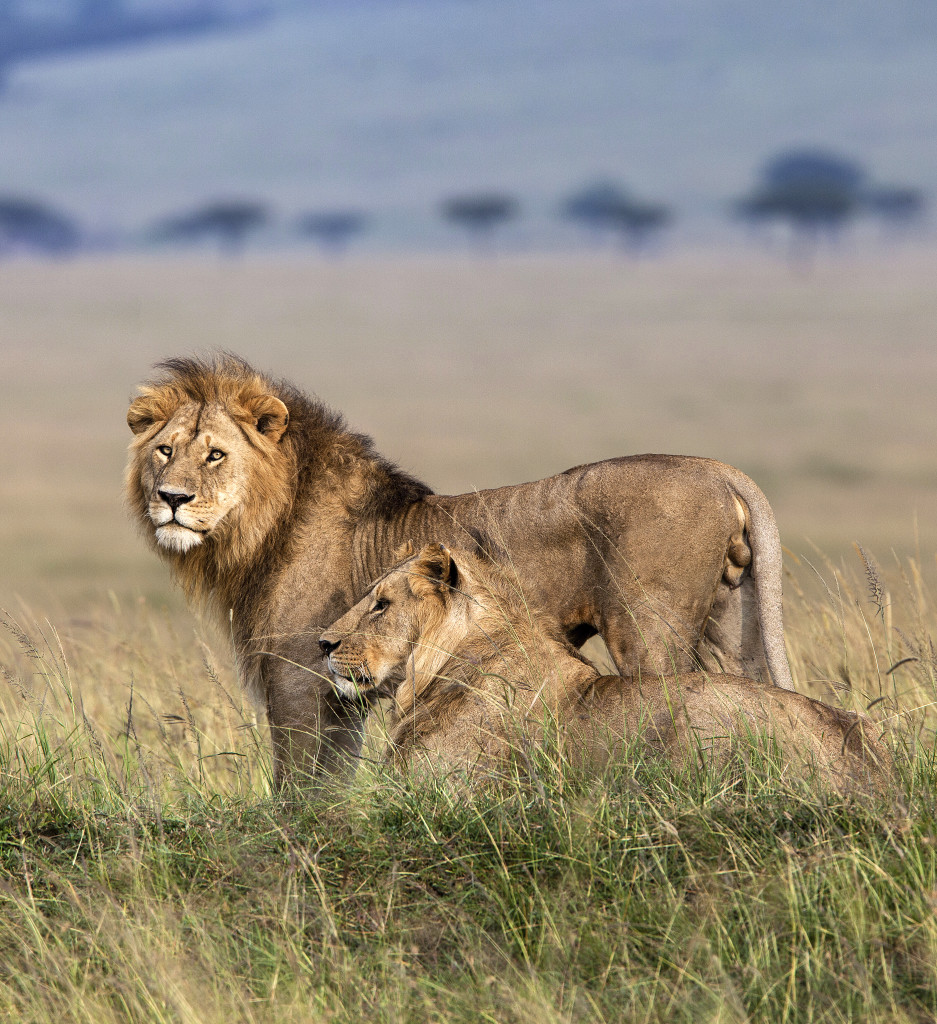 A pair of lions in Kenya's Mara Siana Conservancy