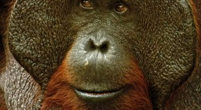 Wildlife Photo of the Week: Orangutan Chief