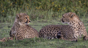 Wildlife Photo of the Week: Cheetah Mother & Son