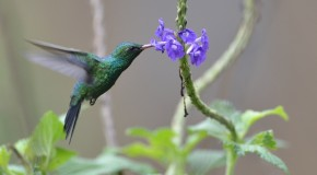 Wildlife Photo of the Week: Costa Rica Hummingbird