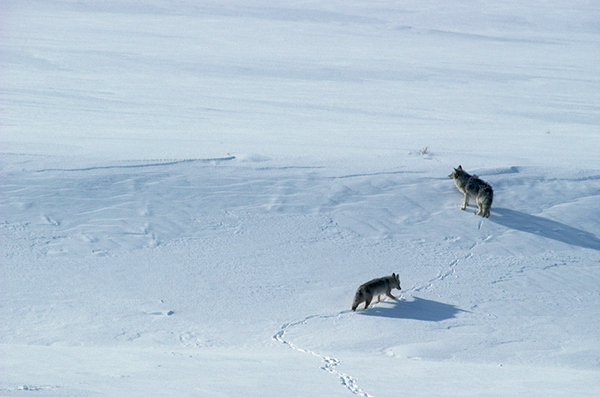 Yellowstone National Park—particularly in winter—is the best place on Earth to see wolves in the wild. ©Henry H. Holdsworth