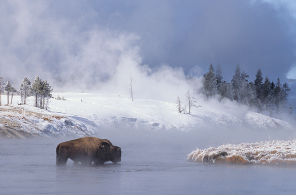 Two bison cross the Firehole River on a frosty winter morning in Yellowstone National Park. ©Henry H. Holdsworth