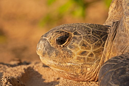 Climate change, which alters sand temperatures, could mean more female sea turtles than male. ©Gavin Lautenbach