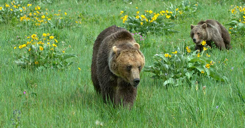 Adult grizzly with out of focus cub running to catch up.Photographed in a Montana meadow