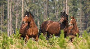 Wildlife Photo of the Week: Wild Horses of Alberta