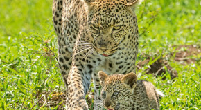 Wildlife Photo of the Week: Protective Leopard Mom