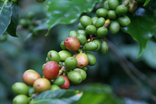 Coffee's heritage goes back to ancient forests on the Ethiopian plateau. ©Javier Marmol, flickr
