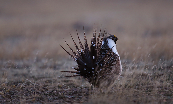 Recently, Congress attached a rider preventing federal funding to meet court-imposed Endangered Species Act deadlines to the omnibus spending bill. The rider blocks the U.S. Fish and Wildlife Service from issuing new protections for both greater and Gunnison sage grouse over the next year. The birds continue to decline toward extinction. ©Eric Rock