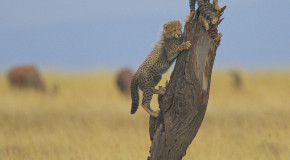 Wildlife Photo of the Week: Cheetah Cubs