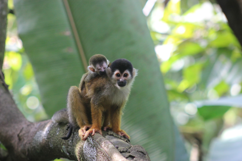 the common squirrel monkey is not threatened however the Central American squirrel monkey and the black squirrel monkey are listed as Vulnerable by the IUCN. © WWF-US/Abby Wadley