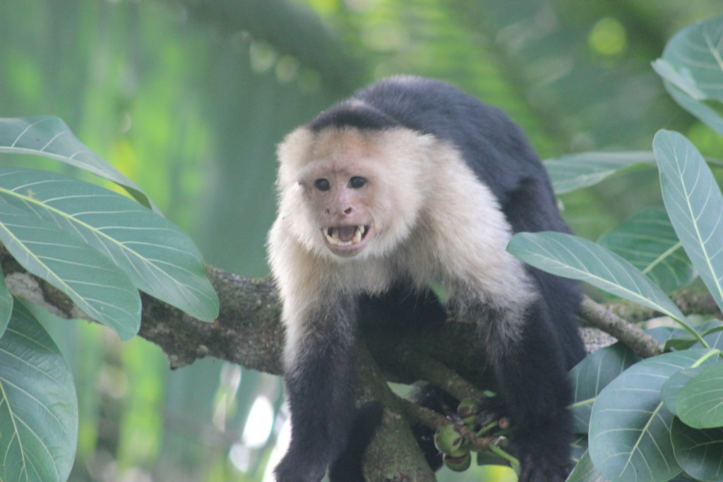 Agressive white-faced capuchin monkey along the Sierpe River. © WWF-US/Abby Wadley