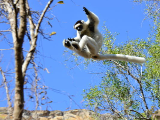 Leaping sifaka in Madagascar