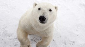 The Polar Bears of Instagram