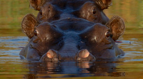 Wildlife Photo of the Week: Tandem Hippos