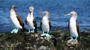 Five Fun Facts About Blue-Footed Boobies