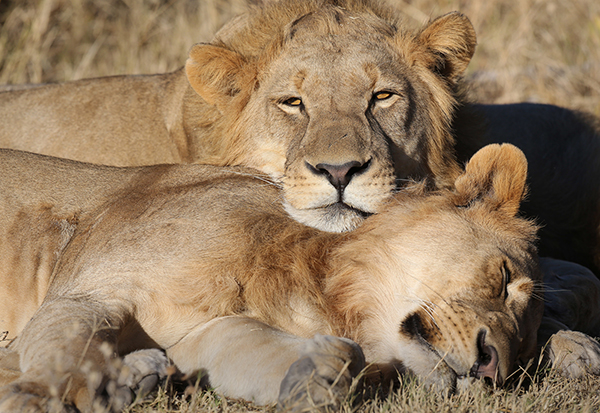 Later this month, on January 22, 2016, lions will officially be protected under the U.S. Endangered Species Act. But how much power do our laws have in regulating other nations' conservation policies? ©Eric Rock