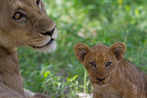 In Central and West Africa, lions are almost extinct. ©Brad Josephs