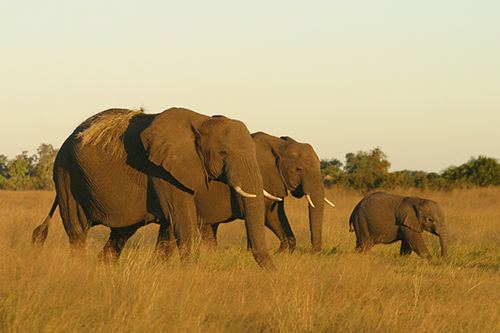 Is the poaching of African elephants really a distant problem for those of us in the U.S.? ©Dave Luck