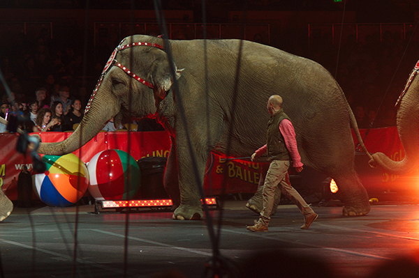 "Last week, Ringling Bros. and Barnum & Bailey elephants received word that they would all be officially ""retired"" from performing in shows by May 2016. ©Mike Liu, flickr"