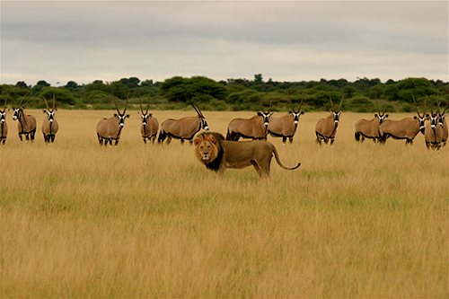 The ICUN states that loss of prey is a major reason for the decline in lion numbers. ©Thuto Moutloatse