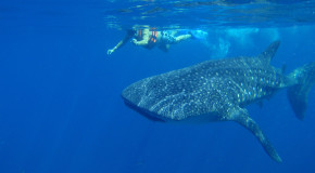 Traveler Story: Swimming with Mexico's Whale Sharks