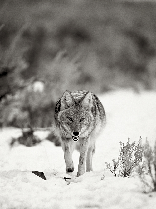 We need coyotes, and they need us to be their advocates. ©Henry H. Holdsworth