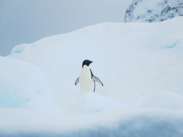 When the B09B iceberg grounded in Commonwealth Bay in East Antarctica and blocked a colony of Adelie penguins from getting to the sea, 150,000 of them died. ©David Stanley, flickr