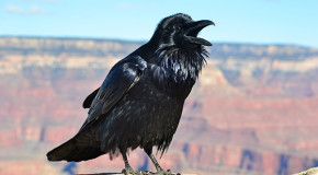 Remedy for Deforestation: Raven Replanters