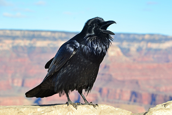 Ravens are the largest birds in the corvid family and are found throughout the world. They thrive in a variety of climates and elevations. This one is at 7,000 feet, on the rim of the Grand Canyon. ©Michael Quinn/National Park Service