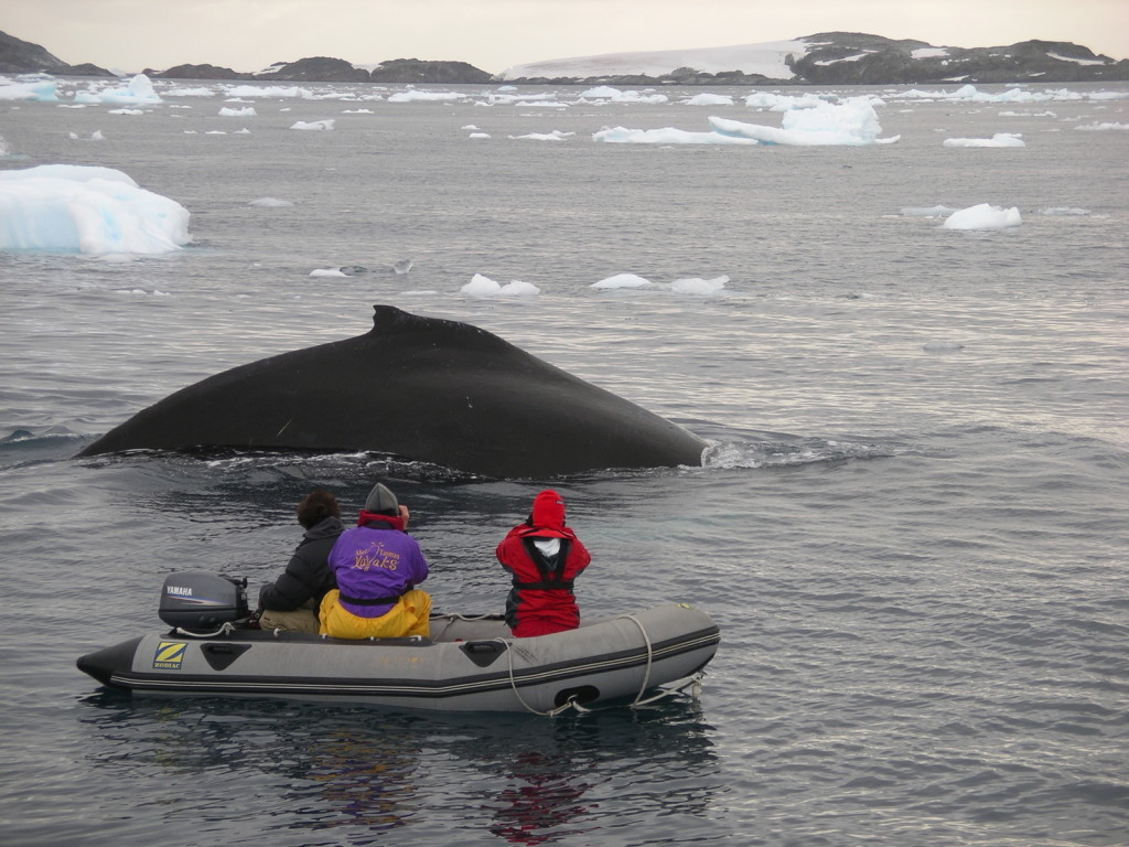 Adventure cruise guests photograph a humpback whale from a Zodiac in Penola Strait