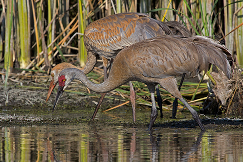 Sandhill cranes most often eat plants and grains, but they will also dine on invertebrates or even small amphibians, mammals and reptiles. ©John T. Andrews